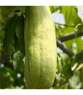 "Semences ""Courge Luffa"" Bio"